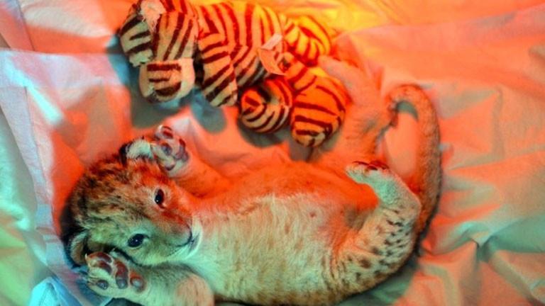 Löwenbaby Malor mit Kuscheltier