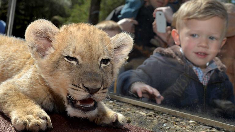 Ein Kind bvestaunt Löwenbaby Malor