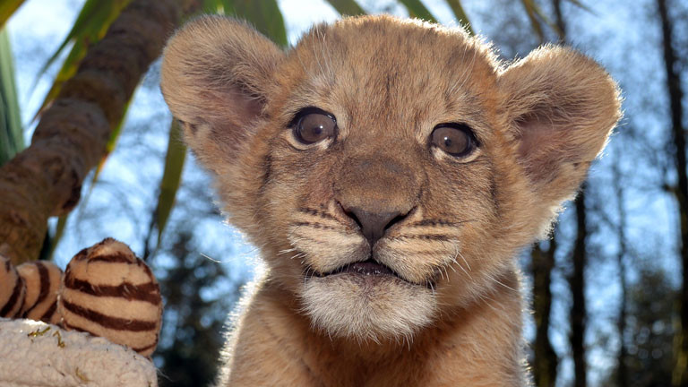 Löwenbaby Malor im Eifel-Zoo