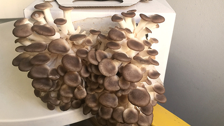 Selbstgezüchtete Pilze der Sorte Kastanienseitling