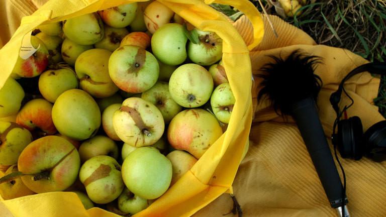 Gesammelte Äpfel in einem Sack.