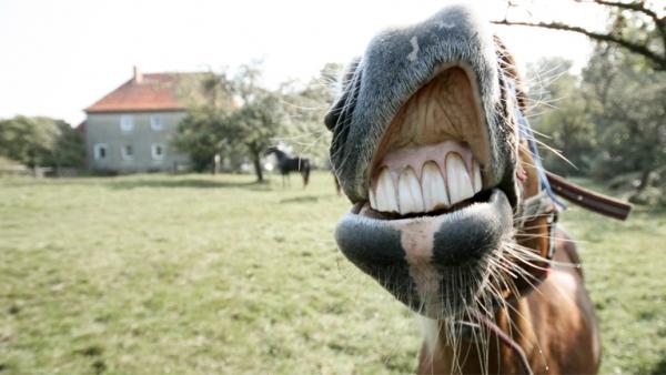 Ein Pferd zeigt Zähne und grinst in die Kamera.