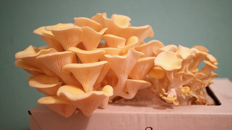 Selbstgezüchete Pilze der Sorte Limonenseitling