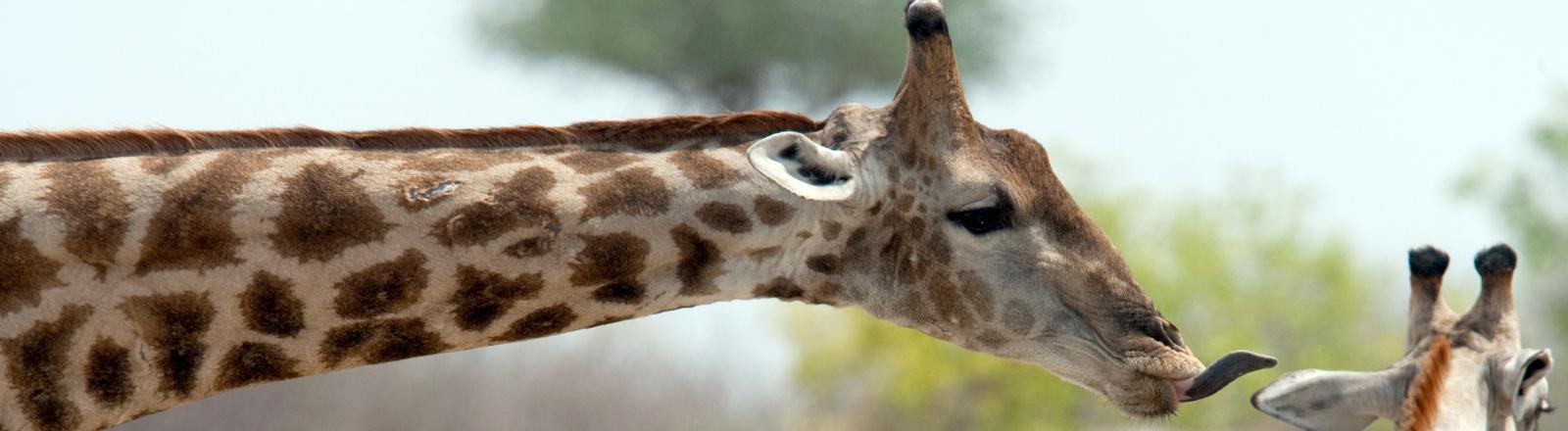 Giraffen im Etosha Nationalpark in Namibia in der Naehe des Camps Halali