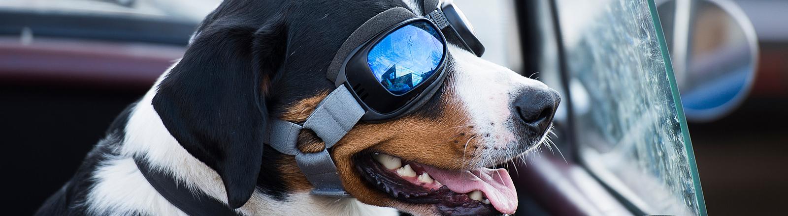 Hund mit Brille in Cabrio