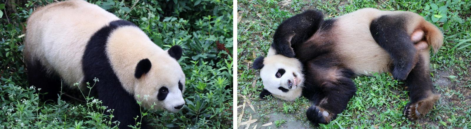 Zwei Pandabären in der Panda-Aufzuchtstation Chengdu.