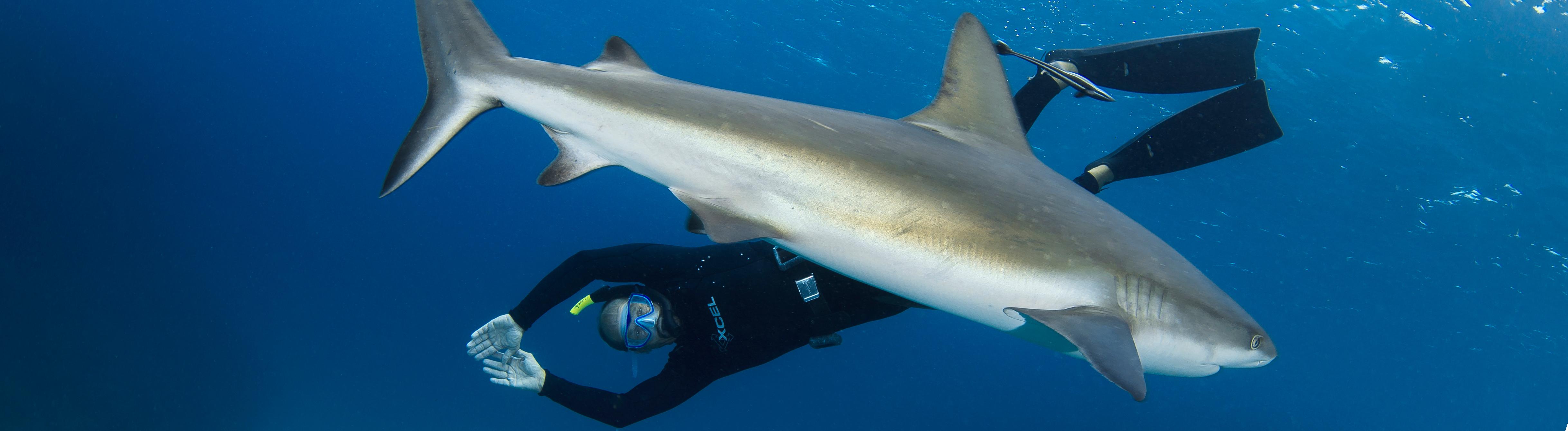 Hai-Experte Erich Ritter taucht mit einem Hai.