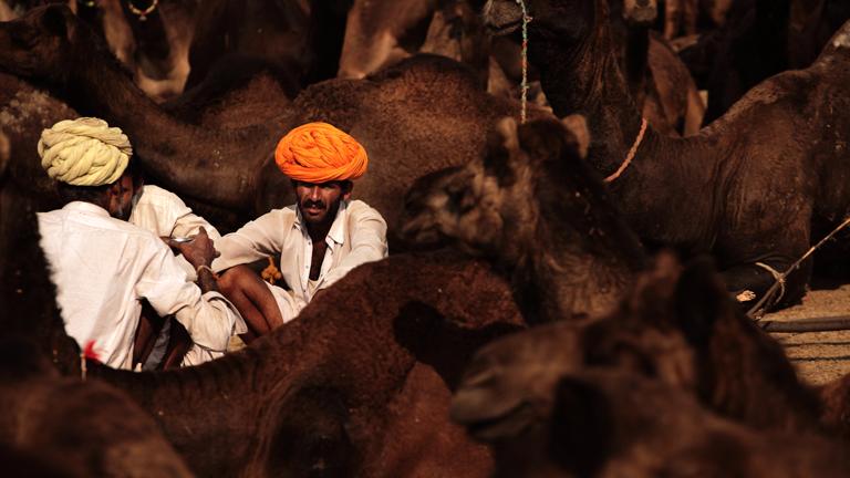 Kamel-Händler zwischen ihren Tieren in Rajasthan, Indien