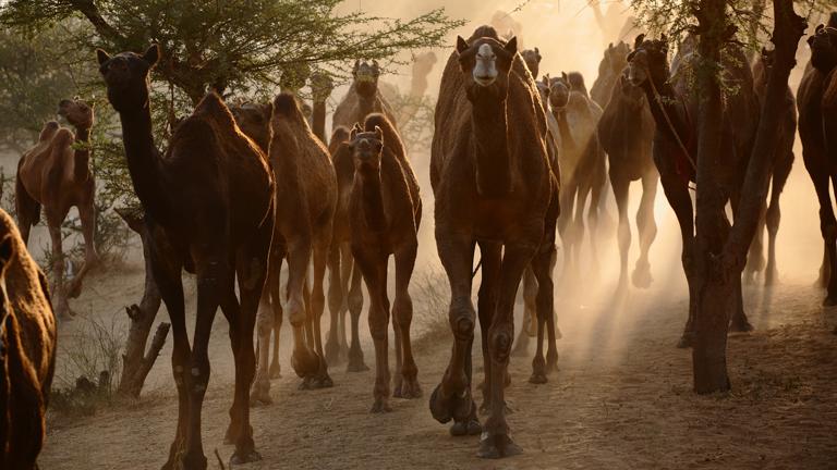 Eine indische Kamelherde im Morgenlicht