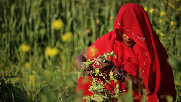 Eine Frau in einem roten Kleid und mit einem roten Schleier in einem Feld (Indien)