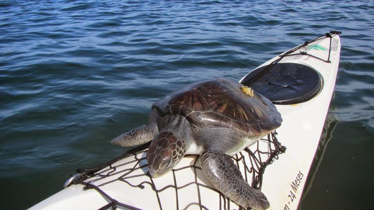 Eine Schildkröte springt Freya Hoffmeister aufs Kajak als sie von Salvador nach Rio de Janeiro paddelt.