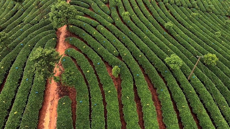 Plantage Yunnan Pu Erh