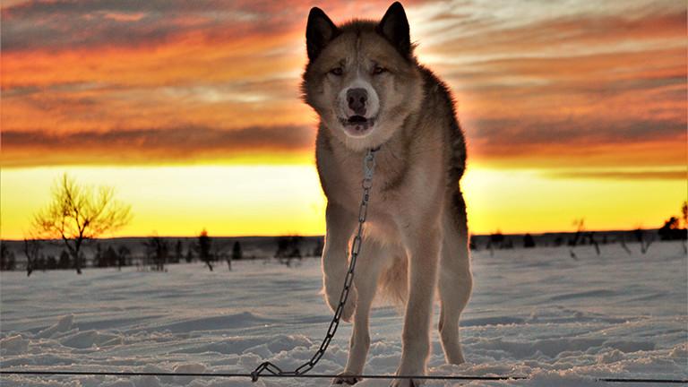 Hendrik Stachnau hat rund 70 Alaskan Malamuts.