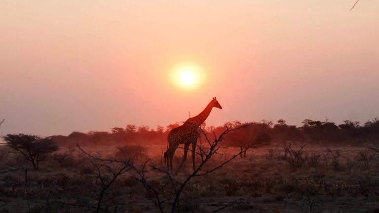 Eine Giraffe in ihrem natürlichen Lebensraum