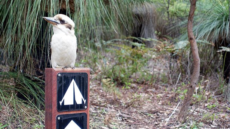 Ein Kookaburra sitzt auf einem Holzpfahl mit Hinweisschildern