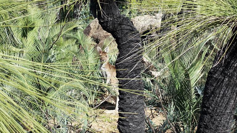 Ein Wallaby im Wald