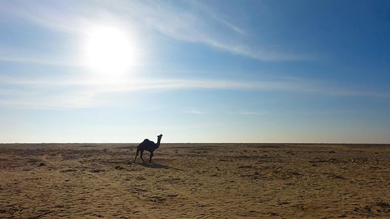 Ein schwarzes Kamel in der omanischen Landschaft