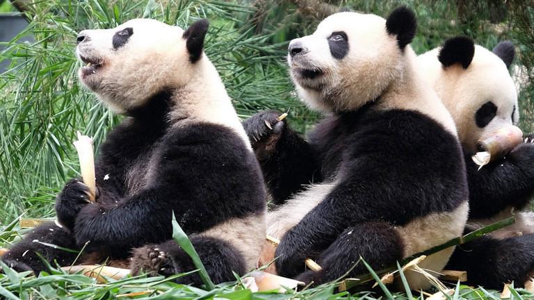 Drei Pandabären in der Panda-Aufzuchtstation in Chengdu.