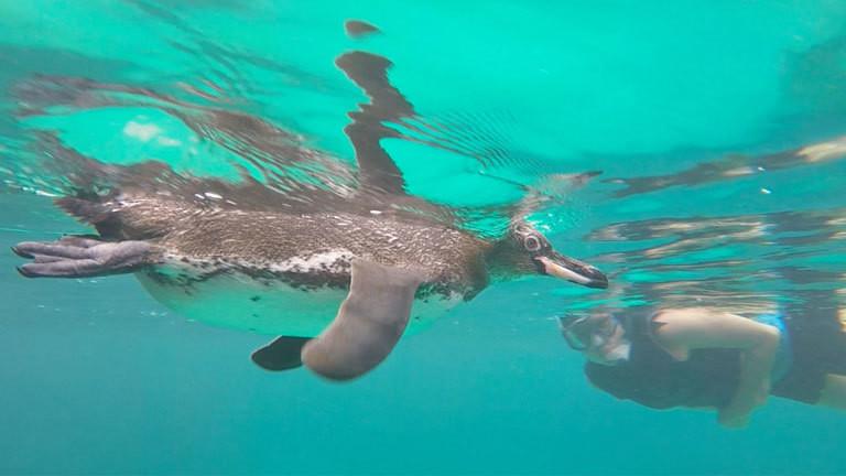 Collage: Frau schwimmt mit Pinguin, Galapagos