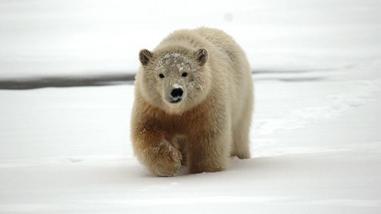 Ein Eisbär in der Arktis, fotografiert von Sybille Klenzendorf.
