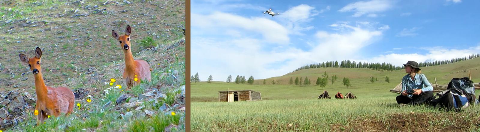 Hirsche und eine Frau mit Drohne