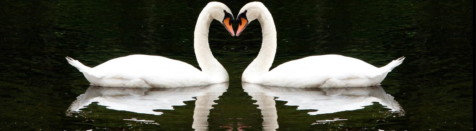 Zwei Schwäne bilden ein Herz. Voll romantisch.