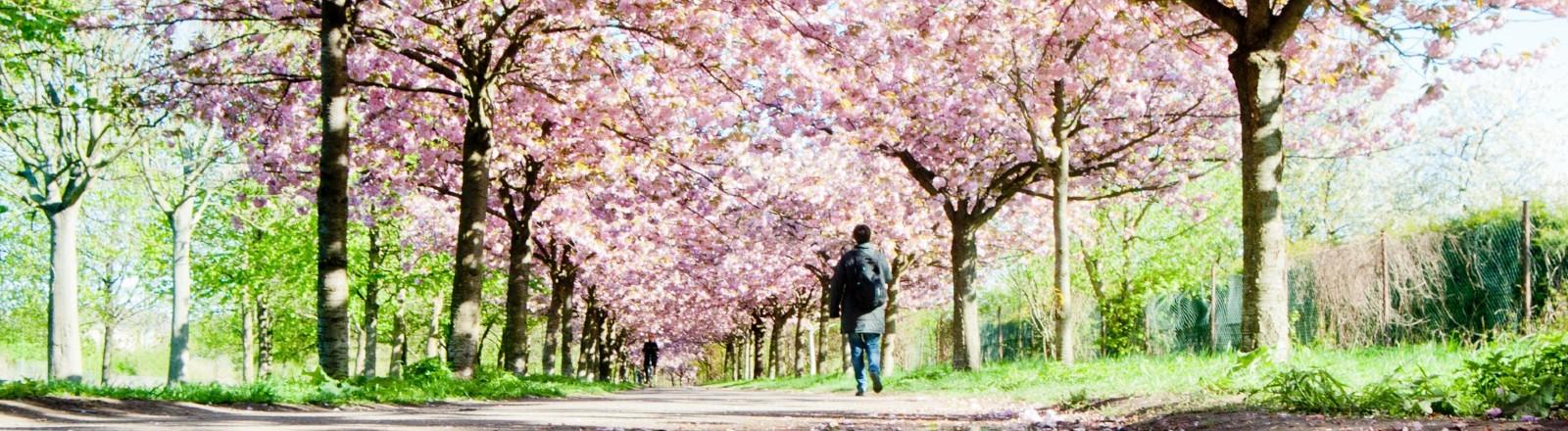 Eine Frau geht am 16.04.2014 in Berlin (Prenzlauer Berg) durch eine Allee blühender japanischer Blütenkirschen.
