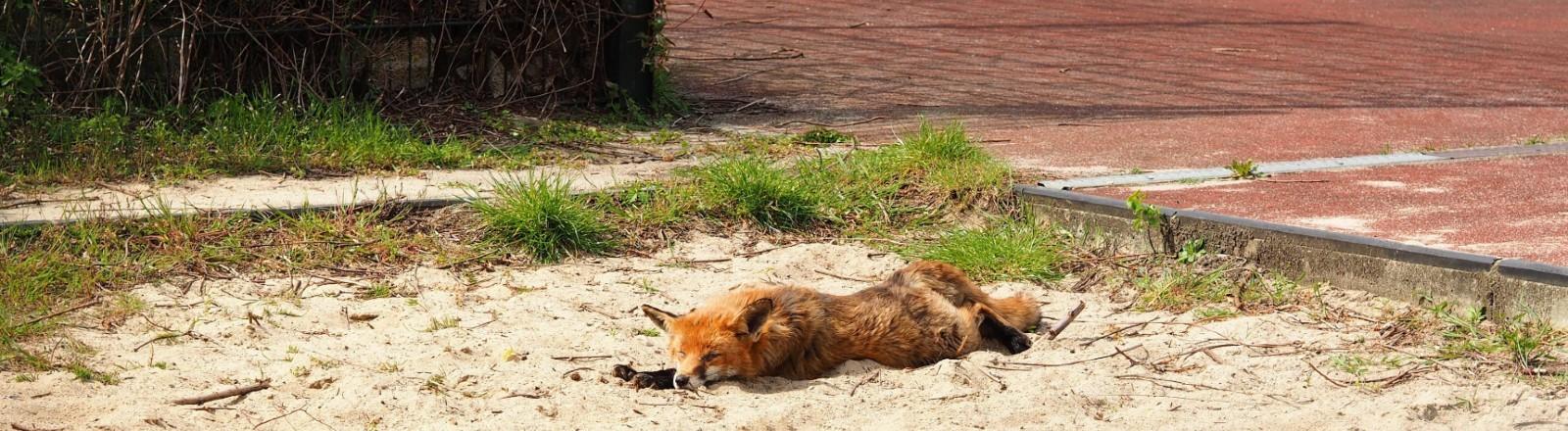 Ein Rotfuchs liegt in einem Sandkasten auf einem Spielplatz in der Stadt.