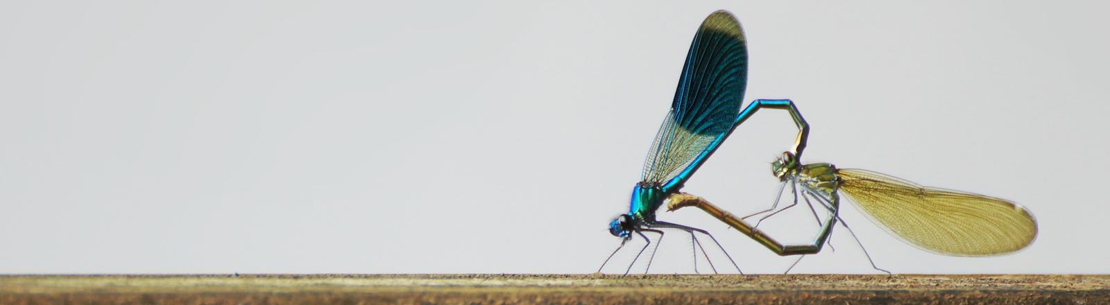 Zwei Libellen formen beim Liebesspiel ein Herz