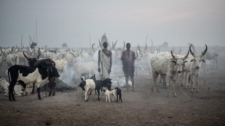 Rinder im Südsudan