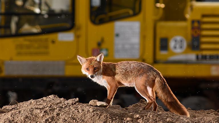 Ein Fuchs