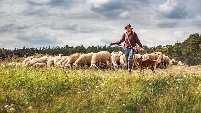Mario Goldstein mit einer Herde Schafe