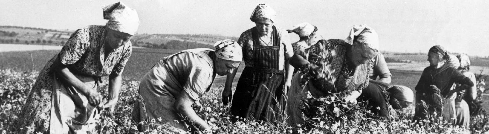 Frauen der Gärtnerbrigade der Landwirtschaftlichen Produktionsgenossenschaft Zehren im Kreis Meißen ernten Erbsen. (Undatierte Aufnahme).