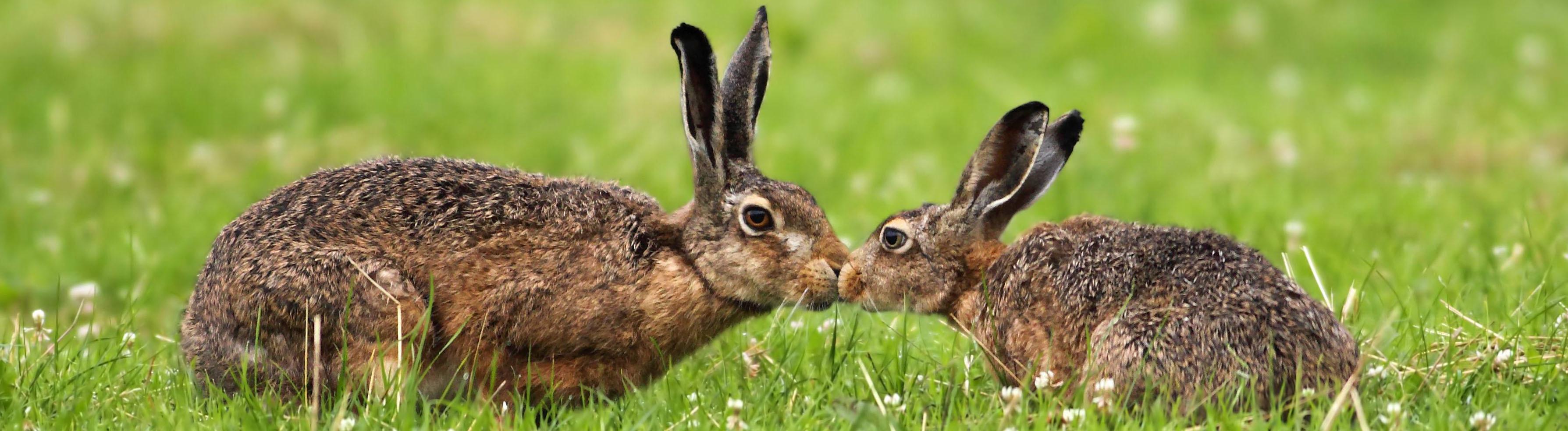 Zewi Hasen auf einer grünen Wiese, die ihre Nasen aneinander drücken.