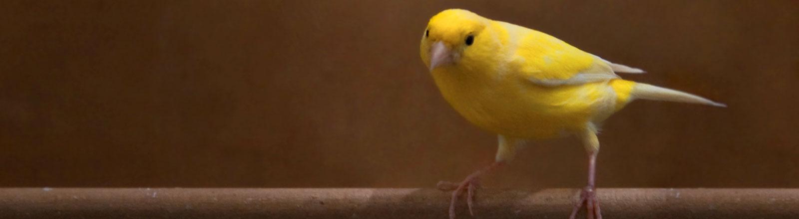 Ein Kanarienvogel auf einer Stange.