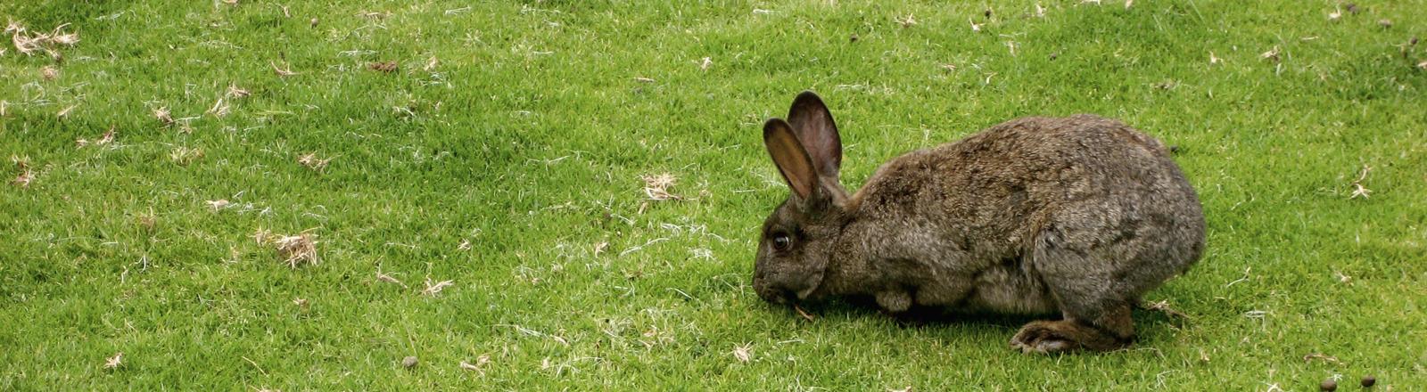 Kaninchen auf einer grünen Wiese.