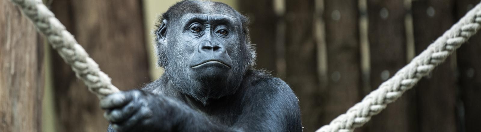 Gorilla mit einem Seil