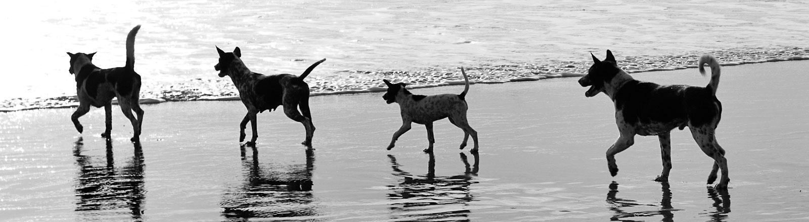 Ein Rudel Hunde am Strand.