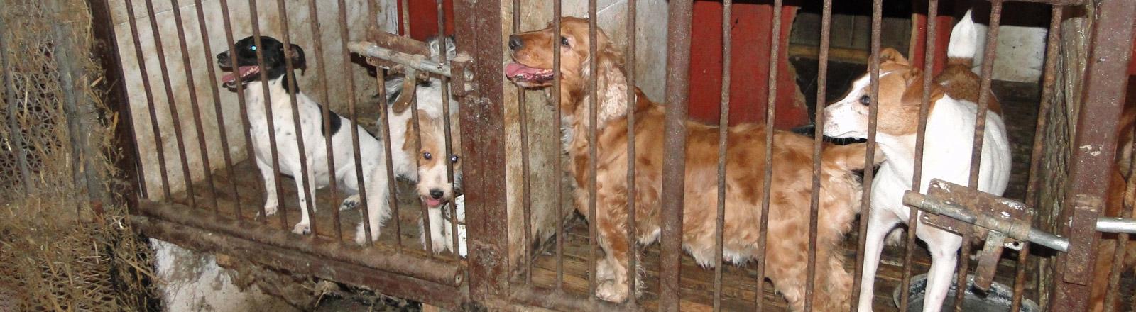 Mehrere Hunde in einem Käfig mit Gittertür