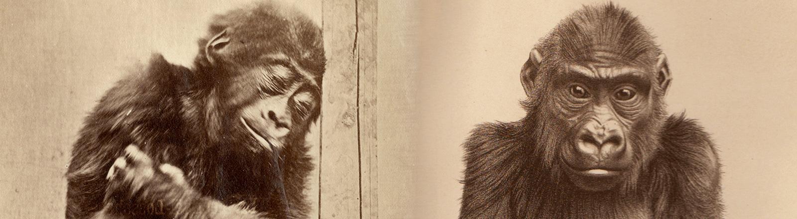 Foto des Gorillajungen M'Pungu, daneben eine Lithographie von M'Pungu