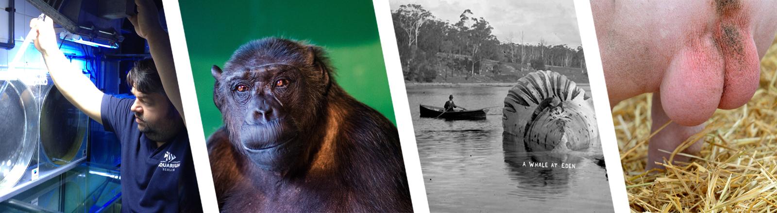 Collage: Walfang, Schimpanse, Schweinehoden, Quallenpfleger
