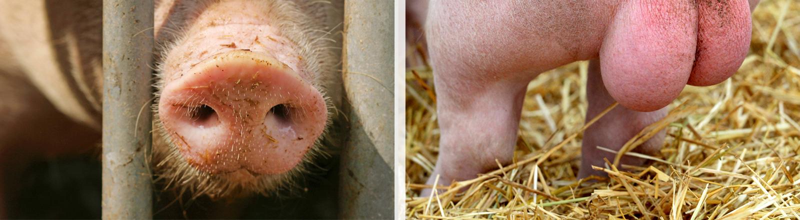 Collage: Schweineschnauze und Eberhoden