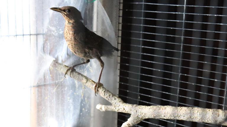 Eine Drossel in einem Käfig im Wohnzimmer der Vogelfrau.