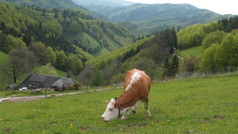 Kuh Lisa auf der Weide