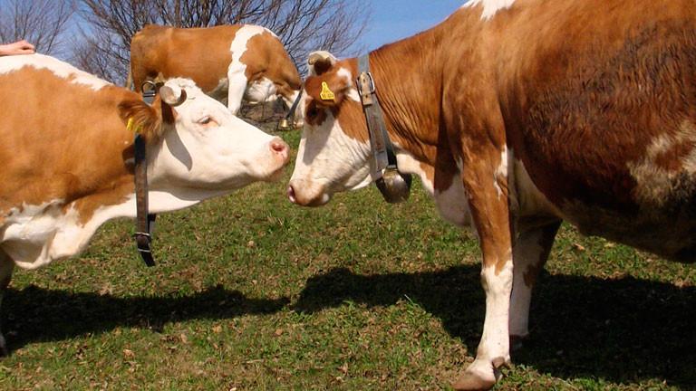 Zwei Kühe miteinander