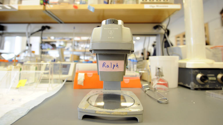Ralph Steinmans Mikroskop an der Rockefeller University.