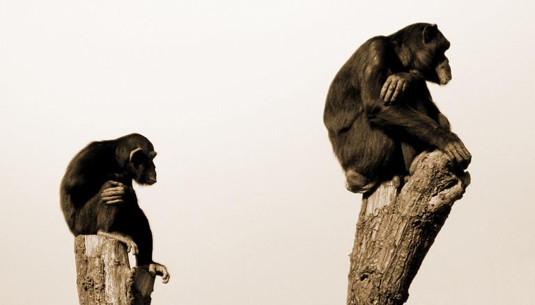 Zwei Schimpansen auf Baumstämmen.