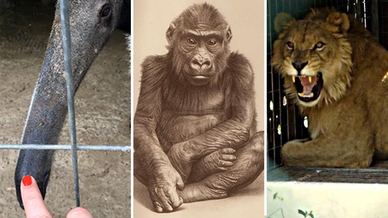 Collage: Finger mit Ameisenbär, Gorilla-Zeichnung, Löwe