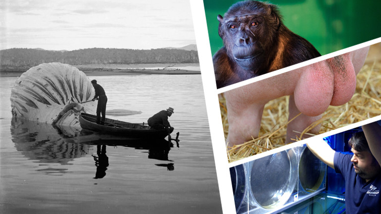 Collage: Walfang, Quallenpfleger, Schweinehoden, Schimpanse