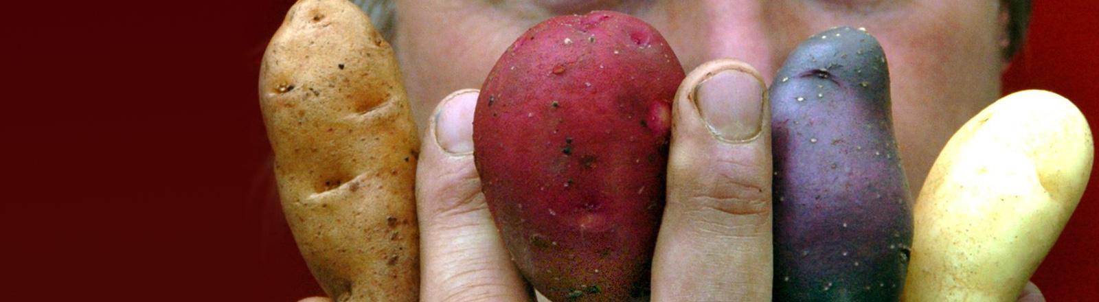 Zwischen seinen Fingern hält ein Mann vier Kartoffeln hoch, in gelb, rot, blau und grün